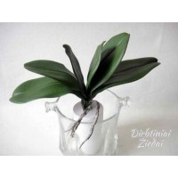 Orchidėjų lapai G1816
