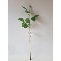 G1236 Rožės kotas 54 cm